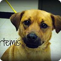 Adopt A Pet :: Artemis - Defiance, OH