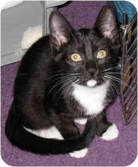 Domestic Shorthair Cat for adoption in Troy, Michigan - Tiffy