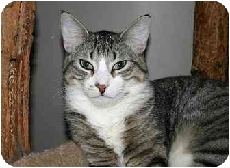 Domestic Shorthair Cat for adoption in Montgomery, Illinois - Stuart