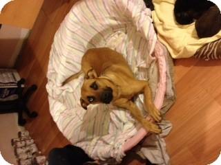 Shepherd (Unknown Type)/Husky Mix Dog for adoption in selden, New York - Dutchess