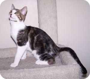 Domestic Shorthair Kitten for adoption in Colorado Springs, Colorado - K-Sophie4-Jersey