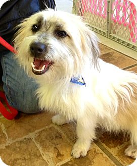 Papillon/Terrier (Unknown Type, Small) Mix Dog for adoption in North Palm Beach, Florida - Riley