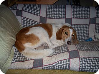 Saluki/Borzoi Mix Dog for adoption in Rustburg, Virginia - Sam