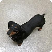 Adopt A Pet :: Marley - Gilbert, AZ