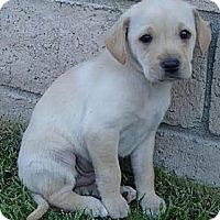 Adopt A Pet :: Cody - La Habra Heights, CA