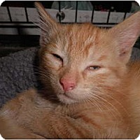 Adopt A Pet :: Pippin - Warren, MI
