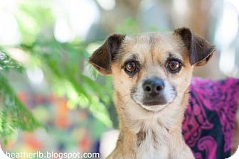 Chihuahua Mix Dog for adoption in Tucson, Arizona - Freddy
