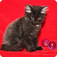 Domestic Mediumhair Kitten for adoption in Marietta, Ohio - Miss Beasley