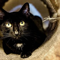 Domestic Shorthair Cat for adoption in Freeport, New York - Sparkle