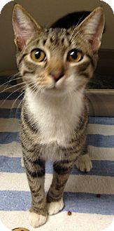 Domestic Shorthair Cat for adoption in Putnam Hall, Florida - Vivor
