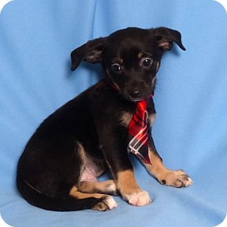 Dachshund/Papillon Mix Puppy for adoption in Kerrville, Texas - Duck