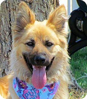 Belgian Tervuren/Shepherd (Unknown Type) Mix Dog for adoption in Romoland, California - Freya