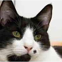 Domestic Shorthair Cat for adoption in Pasadena, California - Marie