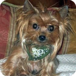 Yorkie, Yorkshire Terrier Dog for adoption in Tallahassee, Florida - Frankie