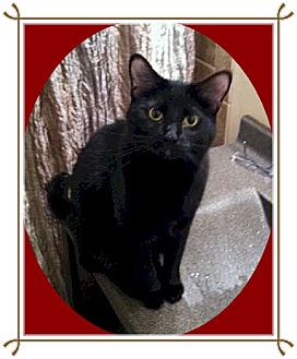 Domestic Shorthair Cat for adoption in Mt. Prospect, Illinois - Kit Kat