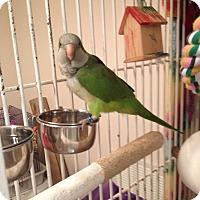 Adopt A Pet :: Peter - St. Louis, MO