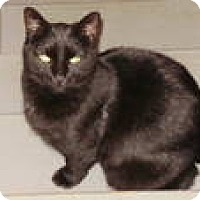 American Shorthair Cat for adoption in Columbus, Ohio - Onyx