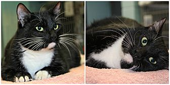 Domestic Shorthair Cat for adoption in Forked River, New Jersey - Tweety