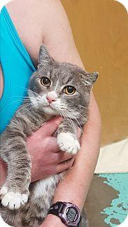 Domestic Shorthair Cat for adoption in Chewelah, Washington - Eli
