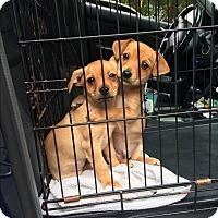 Adopt A Pet :: Lucas - Russellville, KY