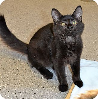 Domestic Mediumhair Kitten for adoption in Michigan City, Indiana - Rosa