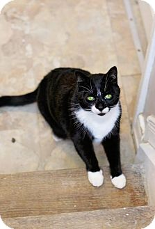 Domestic Shorthair Cat for adoption in Markham, Ontario - Martie