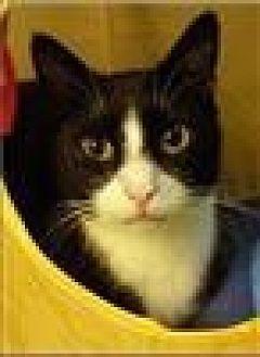 Domestic Shorthair Cat for adoption in Freeport, New York - Bandon