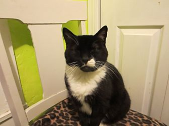 Domestic Mediumhair Cat for adoption in Coos Bay, Oregon - Berton