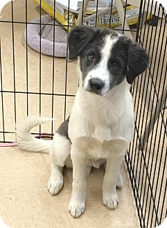 Spitz (Unknown Type, Large) Mix Puppy for adoption in Smithtown, New York - Paul-puppy