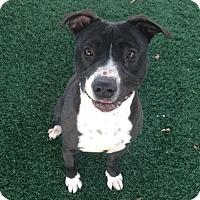Adopt A Pet :: Dixie - Chula Vista, CA