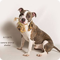 Pit Bull Terrier Mix Dog for adoption in Corona, California - SPIKE