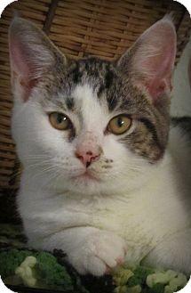 Domestic Shorthair Kitten for adoption in Seminole, Florida - Remington