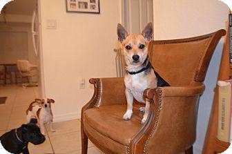 Shiba Inu/Beagle Mix Dog for adoption in Weeki Wachee, Florida - Mango