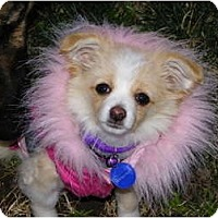 Adopt A Pet :: Twinkle - Hesperus, CO