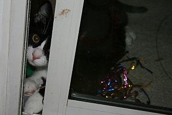 Domestic Shorthair Cat for adoption in Pensacola, Florida - Peek A Boo