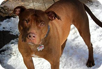 Pit Bull Terrier Dog for adoption in Indianapolis, Indiana - Vinny