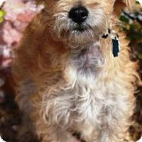 Adopt A Pet :: Baldr - Gilbert, AZ