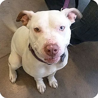 American Pit Bull Terrier Dog for adoption in richmond, Virginia - Angel