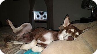 Siberian Husky/Wheaten Terrier Mix Dog for adoption in Flemington, New Jersey - Sasha