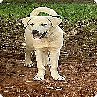 Akbash/Great Pyrenees Mix Dog for adoption in Kyle, Texas - Vernon