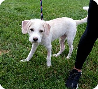 Terrier (Unknown Type, Small) Mix Dog for adoption in Plainfield, Illinois - Lil Scrappy