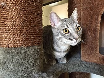 Domestic Shorthair Kitten for adoption in Hesperia, California - Quiad