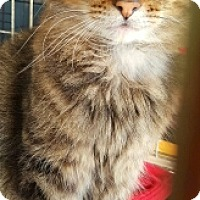 Maine Coon Cat for adoption in Lyons, Illinois - Kenny