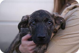 Plott Hound/Boxer Mix Puppy for adoption in Manassas, Virginia - Emmy