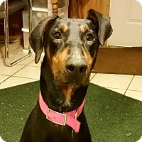 Doberman Pinscher Dog for adoption in New Richmond, Ohio - Thea