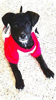 Border Collie Mix Puppy for adoption in Elgin, Oklahoma - Stella