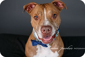 American Staffordshire Terrier Mix Dog for adoption in Atlanta, Georgia - Buddy