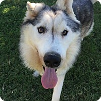 Adopt A Pet :: Hero - Gilbert, AZ