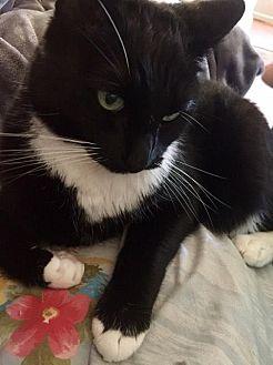 Domestic Shorthair Cat for adoption in Bakersfield, California - PJ
