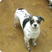 Adopt A Pet :: Violet - Tenafly, NJ